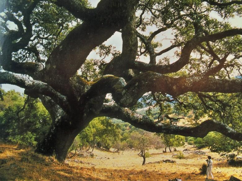Quejigo situado en la finca de las Hermanillas, Grazalema (Cádiz). Es urgente que la Junta de Andalucía elabore un catálogo con los árboles singulares