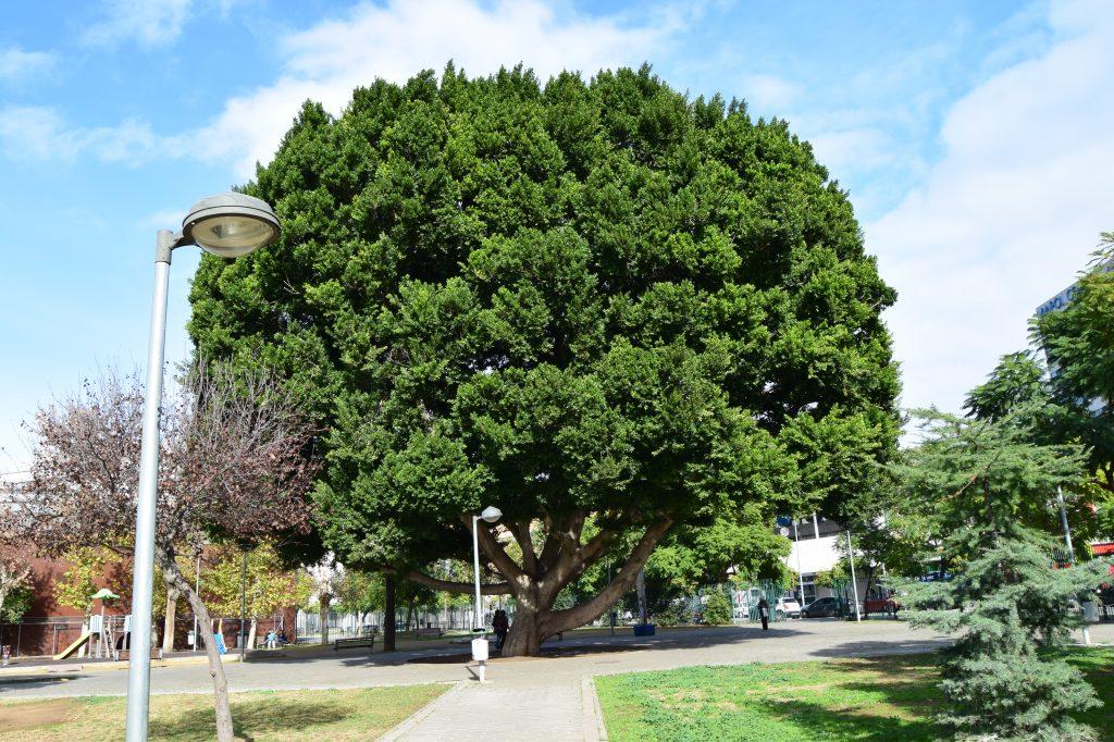 Laurel de Indias (Ficus microcarpa L.F.) situado en el Parque de la Pirotecnia. Plantado por los aprendices en el año 1961.