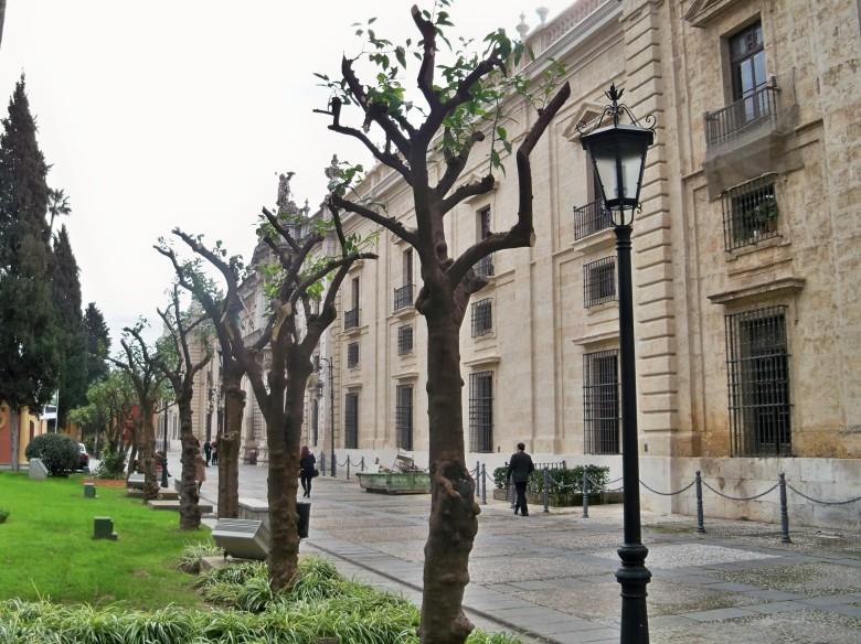Naranjos castrados en los jardines de la Universidad de Sevilla.