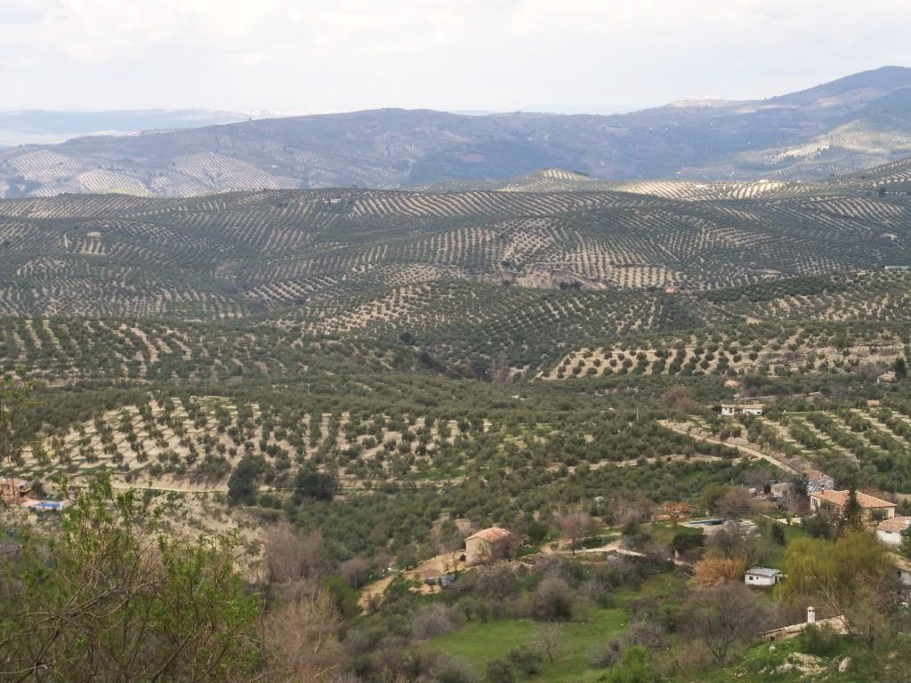 Andaluces de Jaén, aceituneros altivos, decidme en el alma ¿quién quién amamantó los olivos? Poema de Miguel Hernández