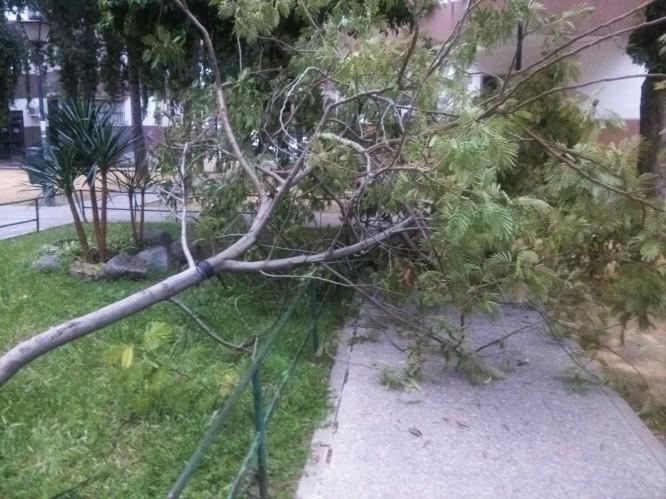 La acacia lofanta fue apeada por los vándalos arboricidas.