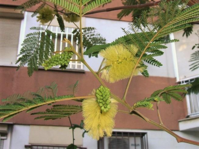 Ya no podremos contemplar esta exótica floración en los meses de diciembre y de enero...