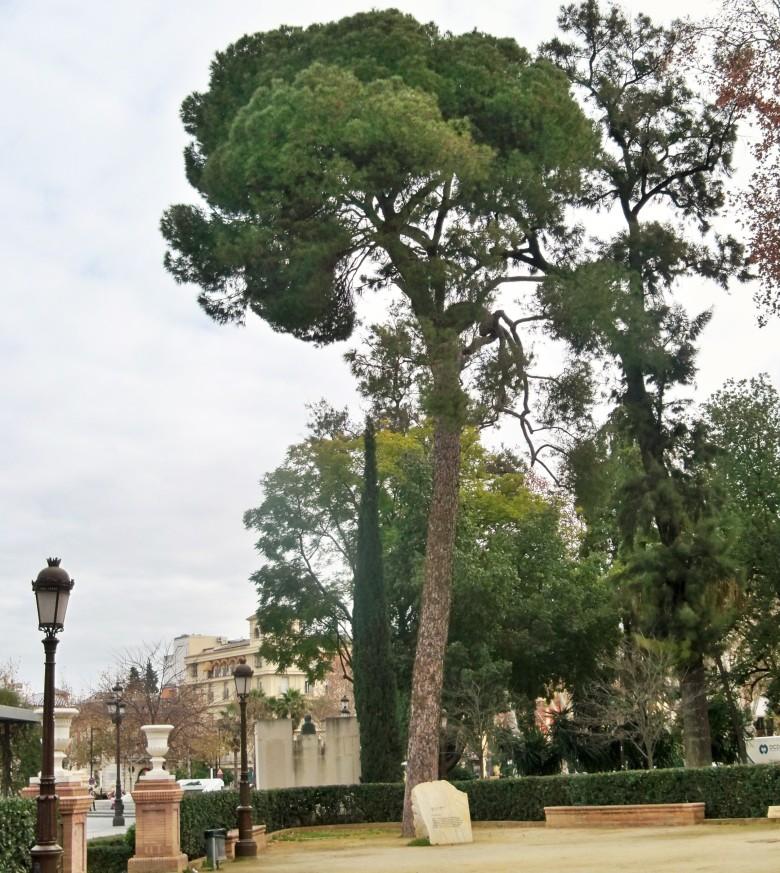 Pino piñonero en los Jardines de Cristina.