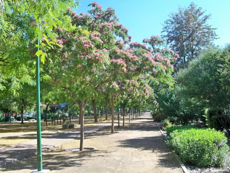 Acacias de Constantinopla en plena floración en el bulevar Poeta Manuel Benítez Carrasco