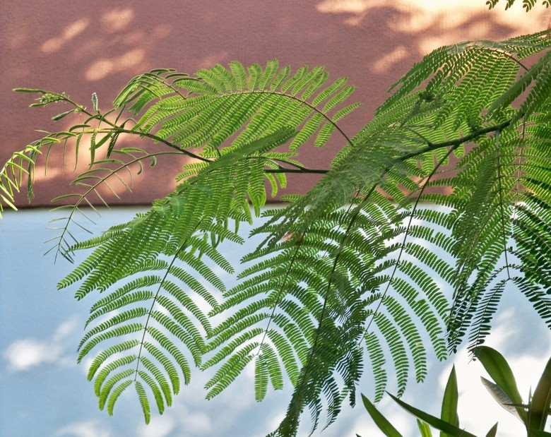 Las hojas de la acacia de Constantinopla