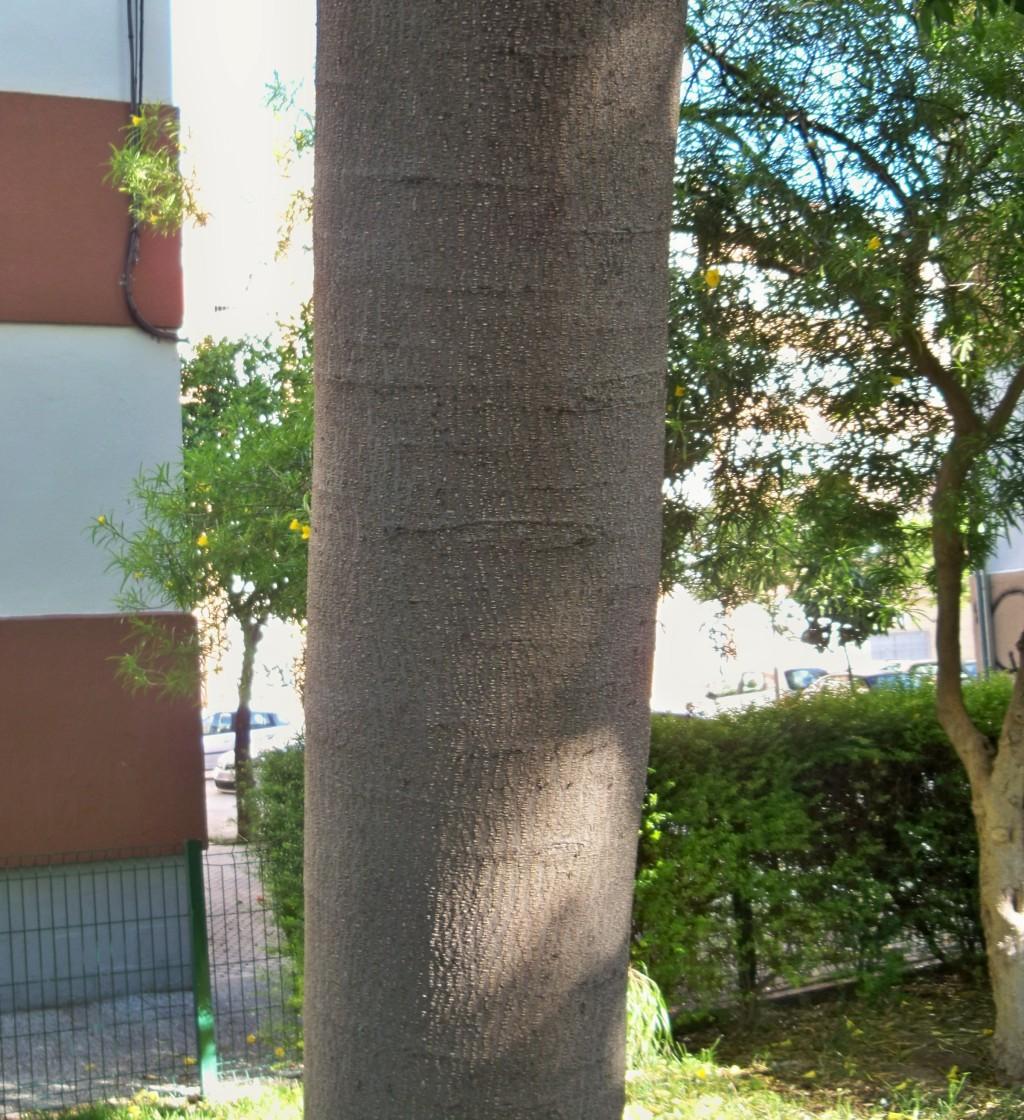 El tronco de la acacia de Constantinopla
