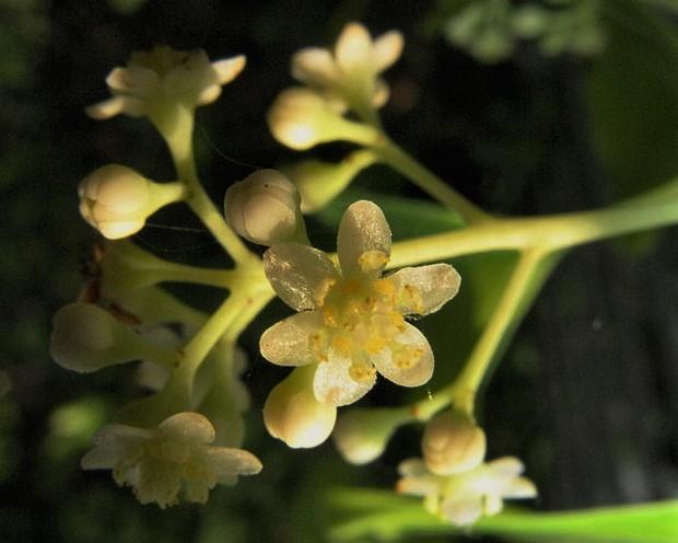 Las flores del alcanforero