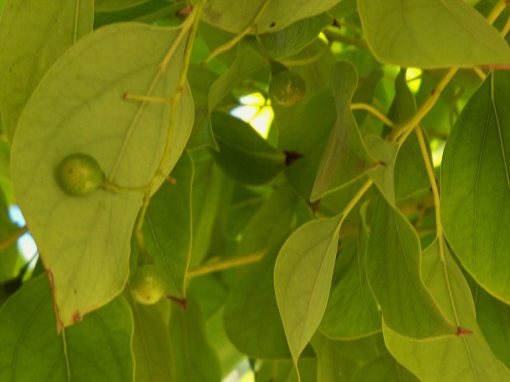 Las hojas y los frutos del alcanforero