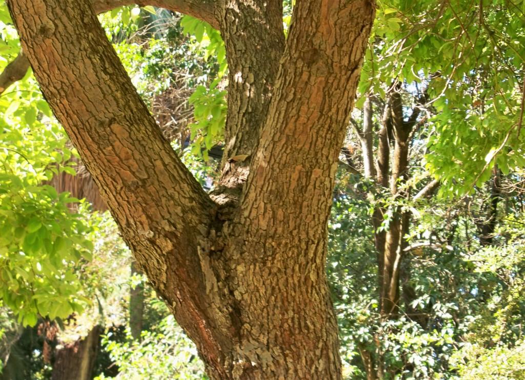 Tronco y corteza del alcanforero