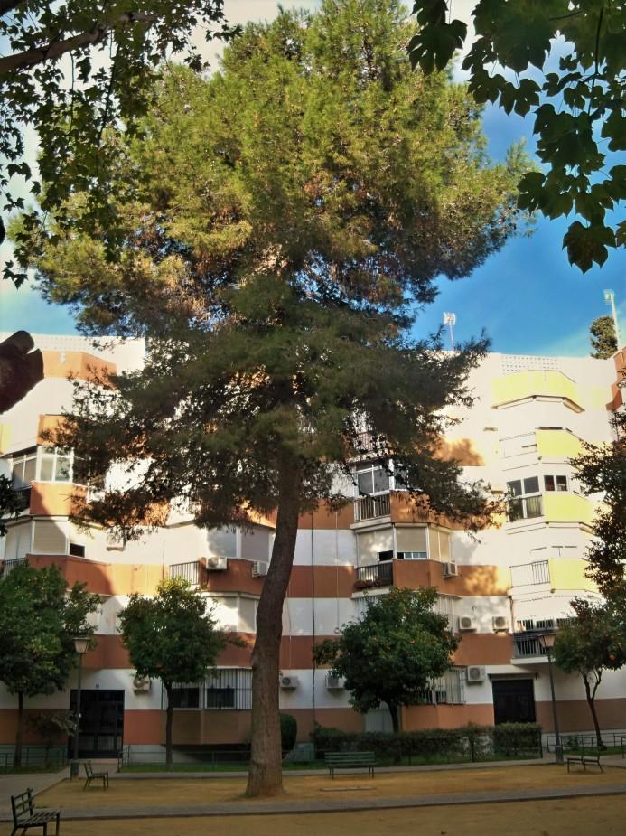 Pino de Alepo en la barriada Ntra. Sra. de la Oliva (plantado en 1970).