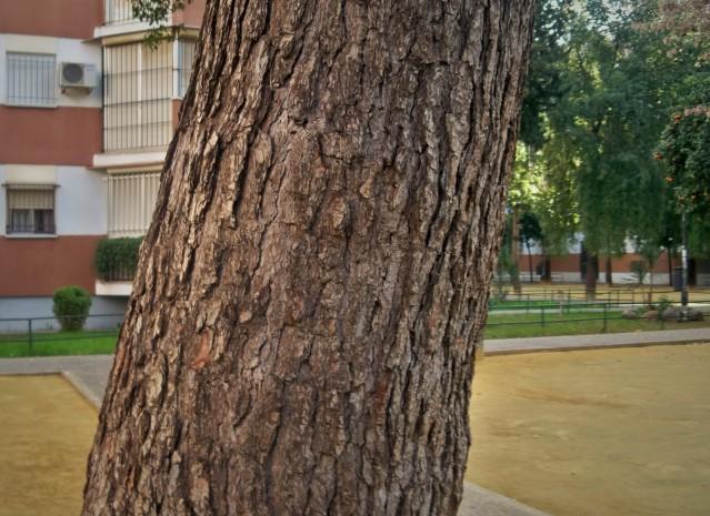 Tronco del pino de Alepo