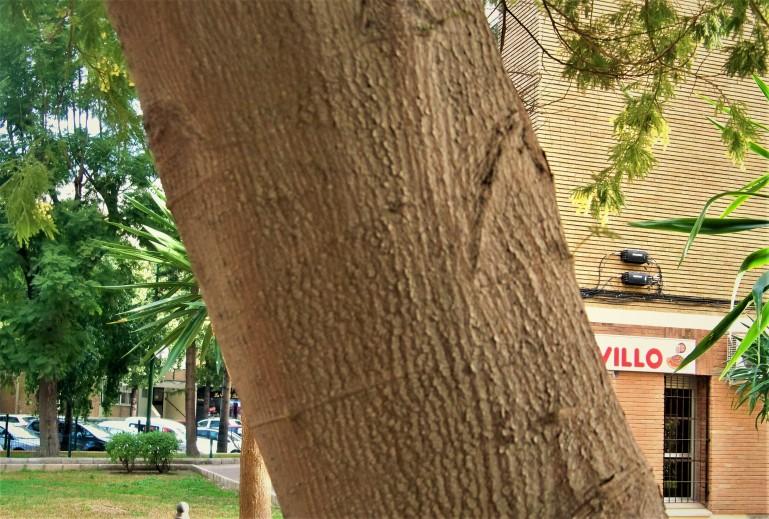 Detalles del tronco y la corteza de la mimosa.
