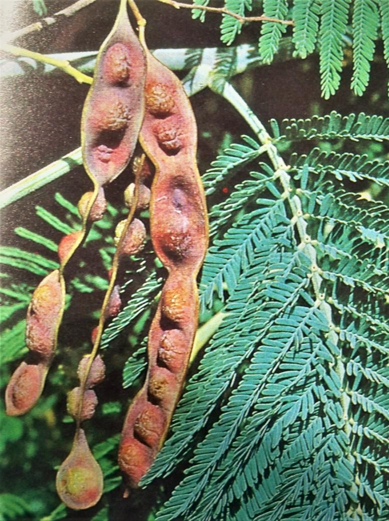 Detalles de los frutos de la mimosa.