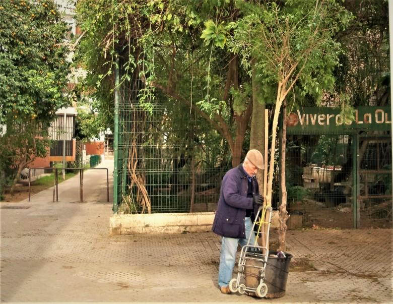 Traslado del Ficus benjamina, desde el vivero al colegio Cristóbal Colón
