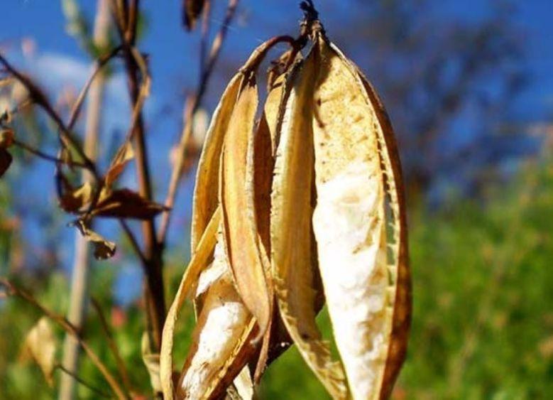 4.-Fruto del tecoma chileno