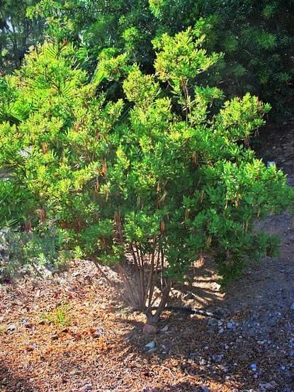 5,- el arbusto